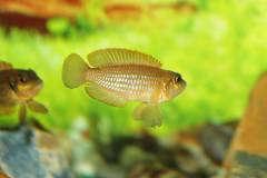 "Lamprologus ocellatus ""gold"""