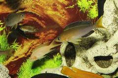 "Сyprichromis leptosoma jumbo ""Lunangwa"""