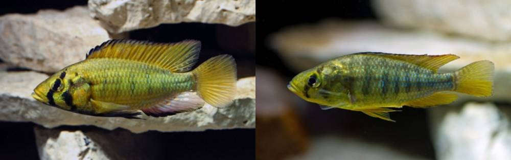 Astatoreochromis alluaudi.jpg