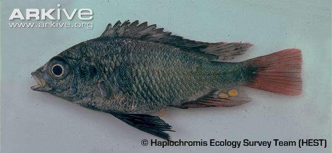 Haplochromis-antleter-specimen.jpg