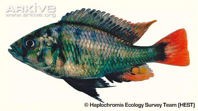 Haplochromis-katunzii-specimen.jpg