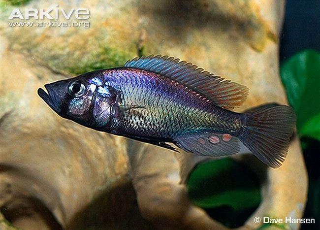 Pyxichromis-orthostoma-in-breeding-colours.jpg