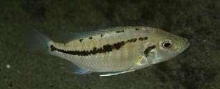 Caprichromis liemi, самка
