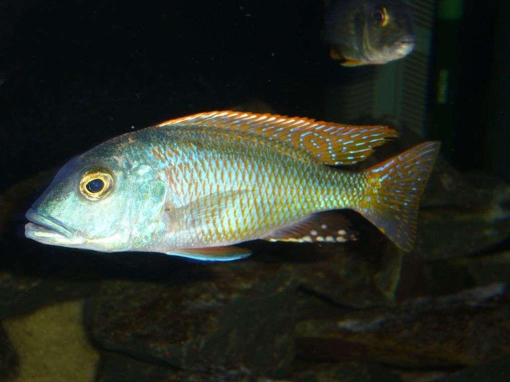 Buccochromis nototaenia
