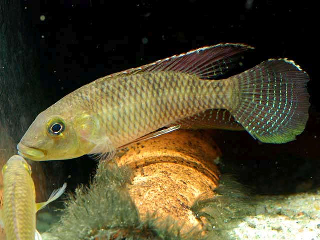 sm_Paranannochromis_sp_Loc10_Cameroon_Ntem_CardG_0050.jpg