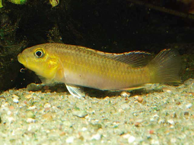 sm_Paranannochromis_sp_Loc10_Cameroon_Ntem_CardG_0058.jpg
