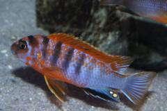 Labidochromis Hongi red top