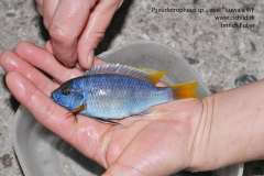 "Pseudotropheus sp. "" acei "" Luwala Reef"