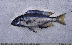 Placidochromis elongatus