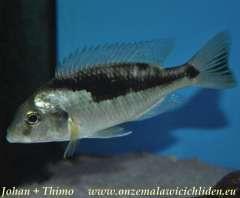 Naevochromis chrysogaster