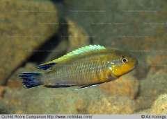 Tropheops sp. 'lucerna brown'