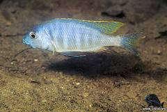 Placidochromis sp. 'electra mozambique'