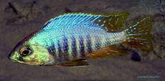 Placidochromis sp. jalo