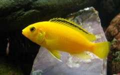 """Labidochromis caeruleus """"Yellow"""""""