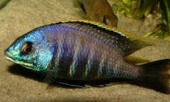 Placidochromis sp. 'blue otter'