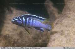 Tropheops sp. 'elongatus boadzulu'
