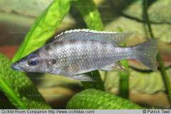 Placidochromis platyrhynchos