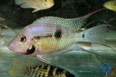 Thorichthys meeki Rio Mopan