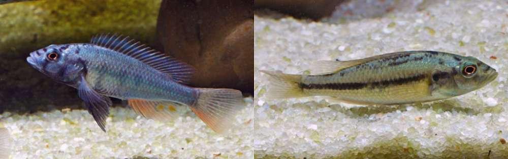Prognathochromis perrieri.jpg