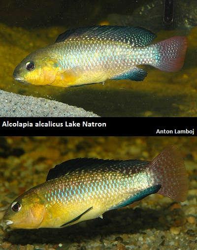 Alcolapia alcalicus.jpg