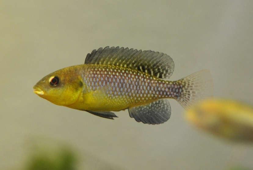 Alcolapia-alcalicus-1.jpg