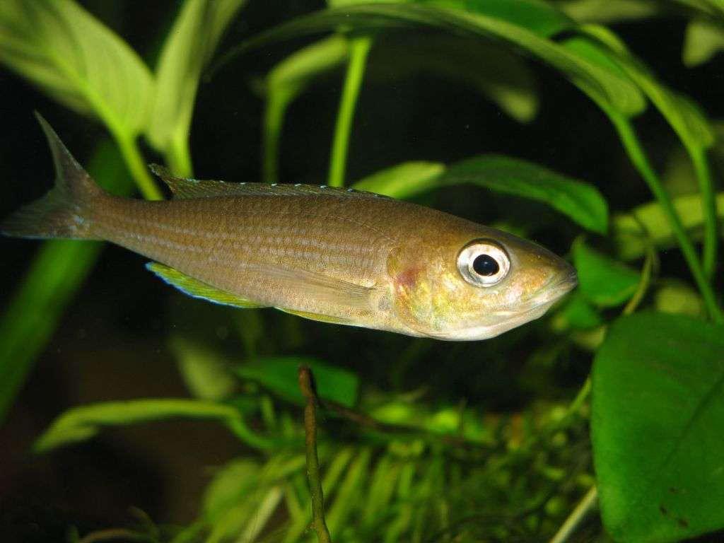 Cyprichromis leptosoma 'Kigoma'