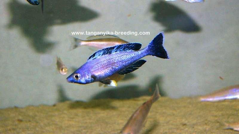 Cyprichromis leptosoma 'jumbo Kitumba