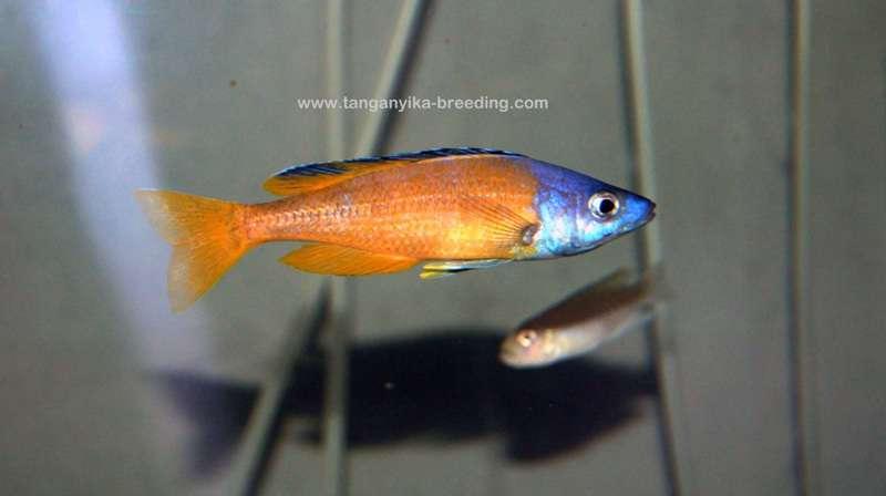 "Cyprichromis sp. ""Jumbo Kitumba"""