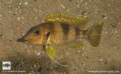 Gnathochromis permaxillaris  Kalubale