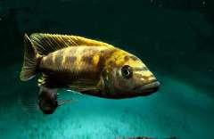 Melanochromis baliodigma