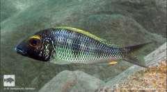 """Callochromis macrops """"Goldstreak – Mtosi Bay"""""""
