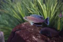 "Cyprichromis. sp. ""leptosoma jumbo"" Isanga/Kapembwa"