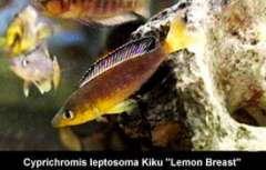 "Cyprichromis sp. ""leptosoma jumbo"" Kapampa из района Kiku"