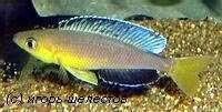 "Cyprichromis sp. ""leptosoma jumbo"" Kapampa из района Лунангва"