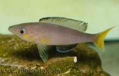 "Cyprichromis sp. ""leptosoma jumbo"" Kapampa"