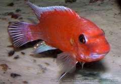 """Labeotropheus trewavasae """"mpanga red"""""""