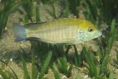Mylochromis plagiotania