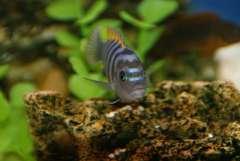 Подросток  Cynotilapia afra 'Jalo Reef'