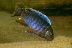 Pseudotropheus lucerna