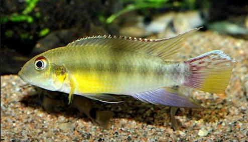 Pelvicachromis humilis.png