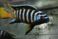 """Metriaclima sp. """"elongatus Gold Bar"""" Chizumulu Island"""