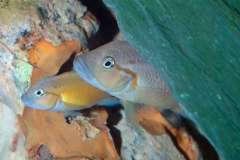 """Telmatochromis sp. """"dhonti orange"""""""