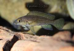 Neolamprologus tetracanthus.