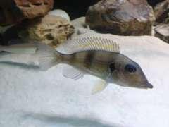 Gnatochromis (самка) WF