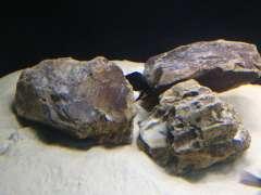 Altolamprologus Calvus black pektoral  WF