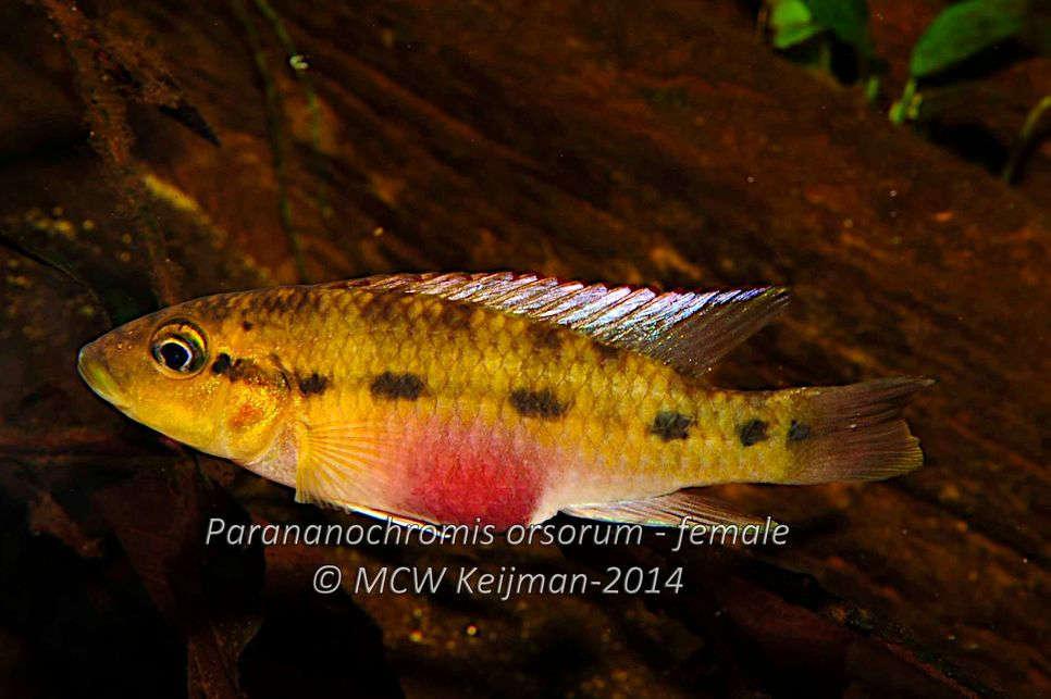 Parananochromis_orsorum_Lamboj_2014_female_scale_966x1500.jpg