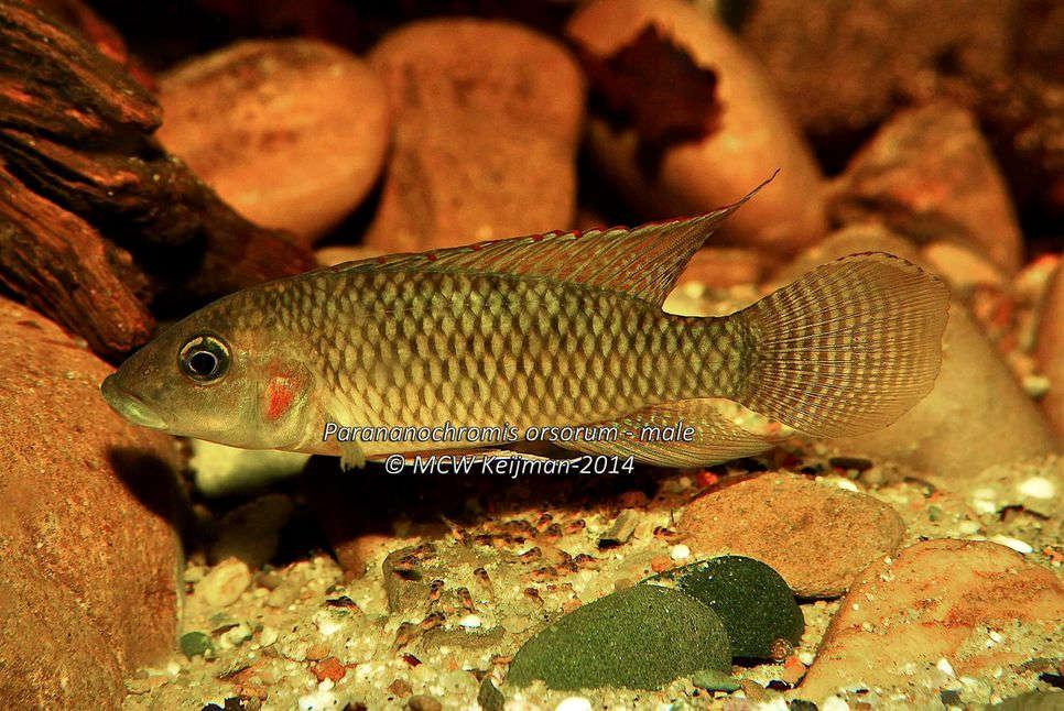 Parananochromis_orsorum_Lamboj_2014_male_scale_966x1500.jpg