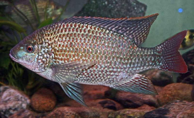 Картинки по запросу Oreochromis hunteri