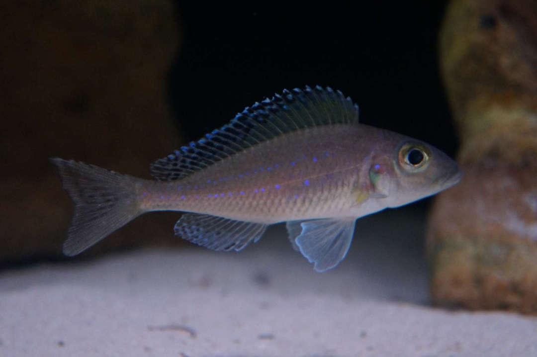 Xenotilapia spilopterus Lyamembe