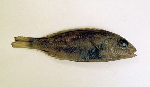 Aulonocara trematocephalum
